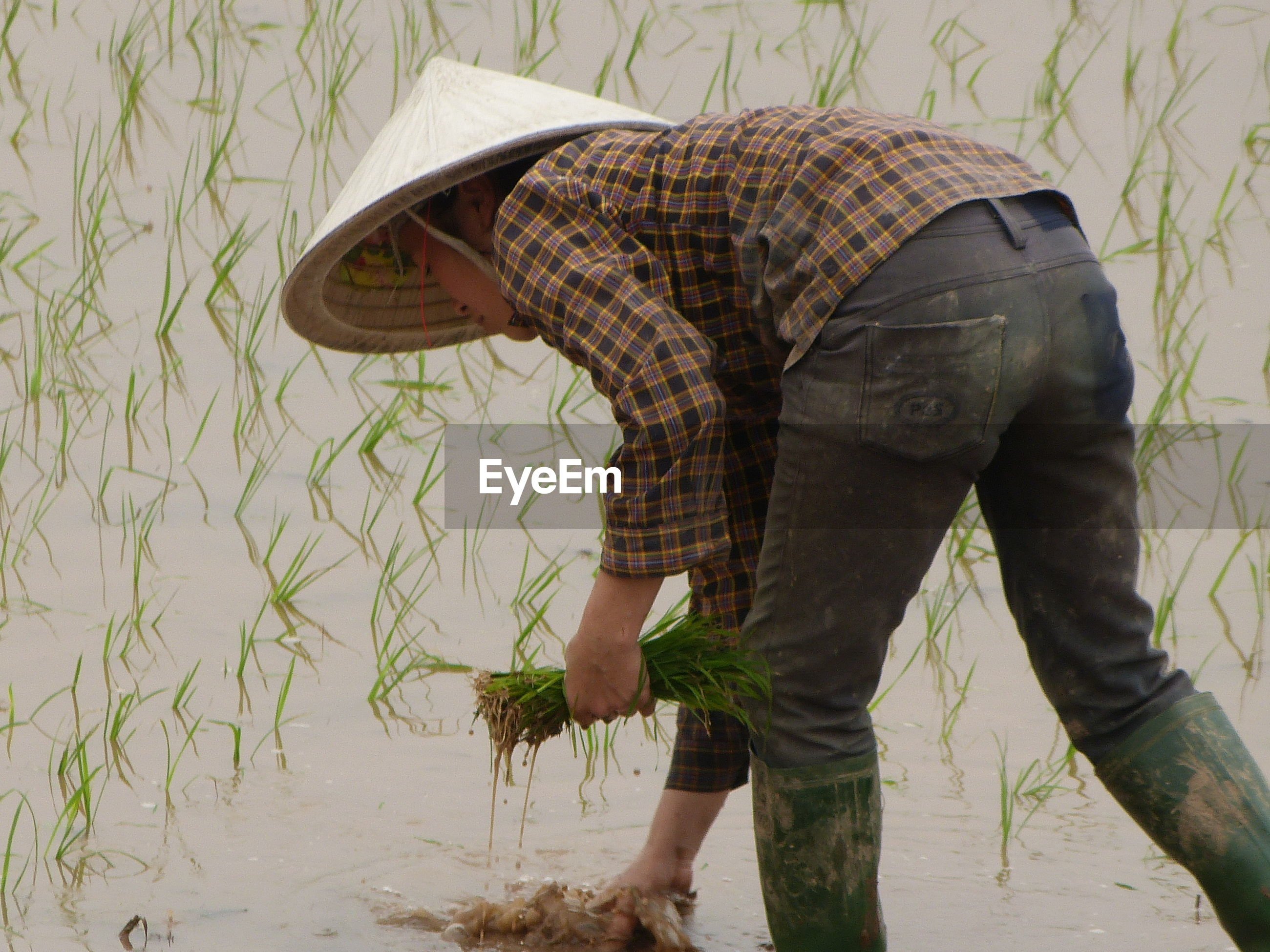 Man planting rice plants in paddy
