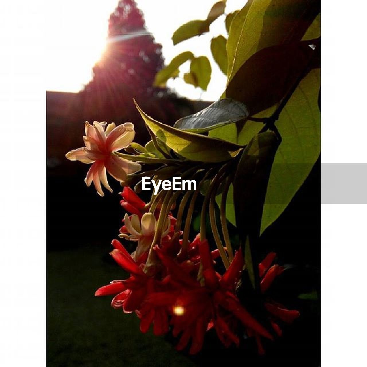 flower, petal, flower head, fragility, beauty in nature, freshness, nature, growth, no people, blooming, plant, close-up, leaf, day, outdoors, hibiscus