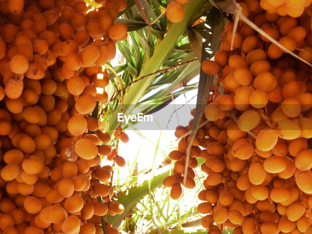 Low angle view of fruits hanging outdoors