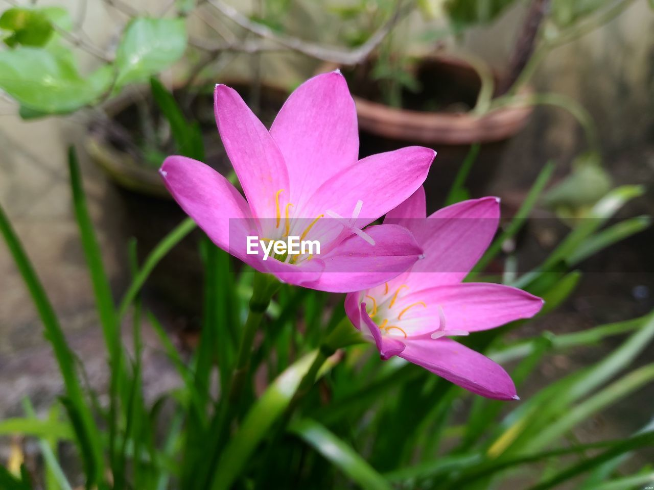 flower, petal, nature, fragility, freshness, growth, beauty in nature, no people, pink color, plant, outdoors, day, close-up, flower head, leaf, blooming