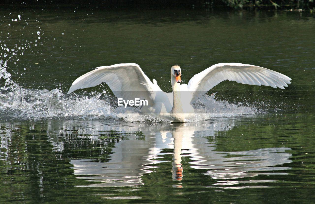 Swan Flapping Wings On Lake