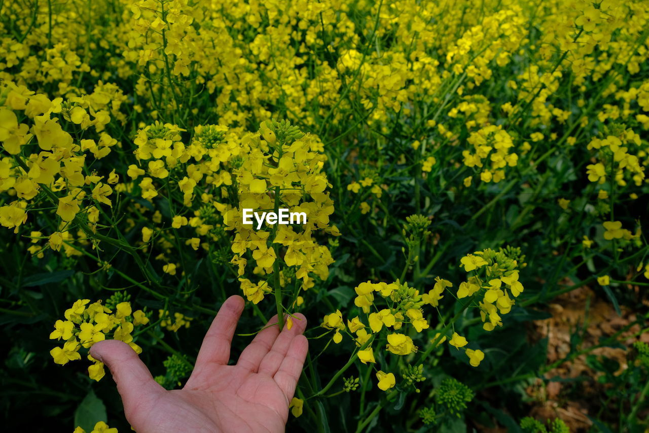 CLOSE-UP OF HAND ON YELLOW FLOWERING PLANTS