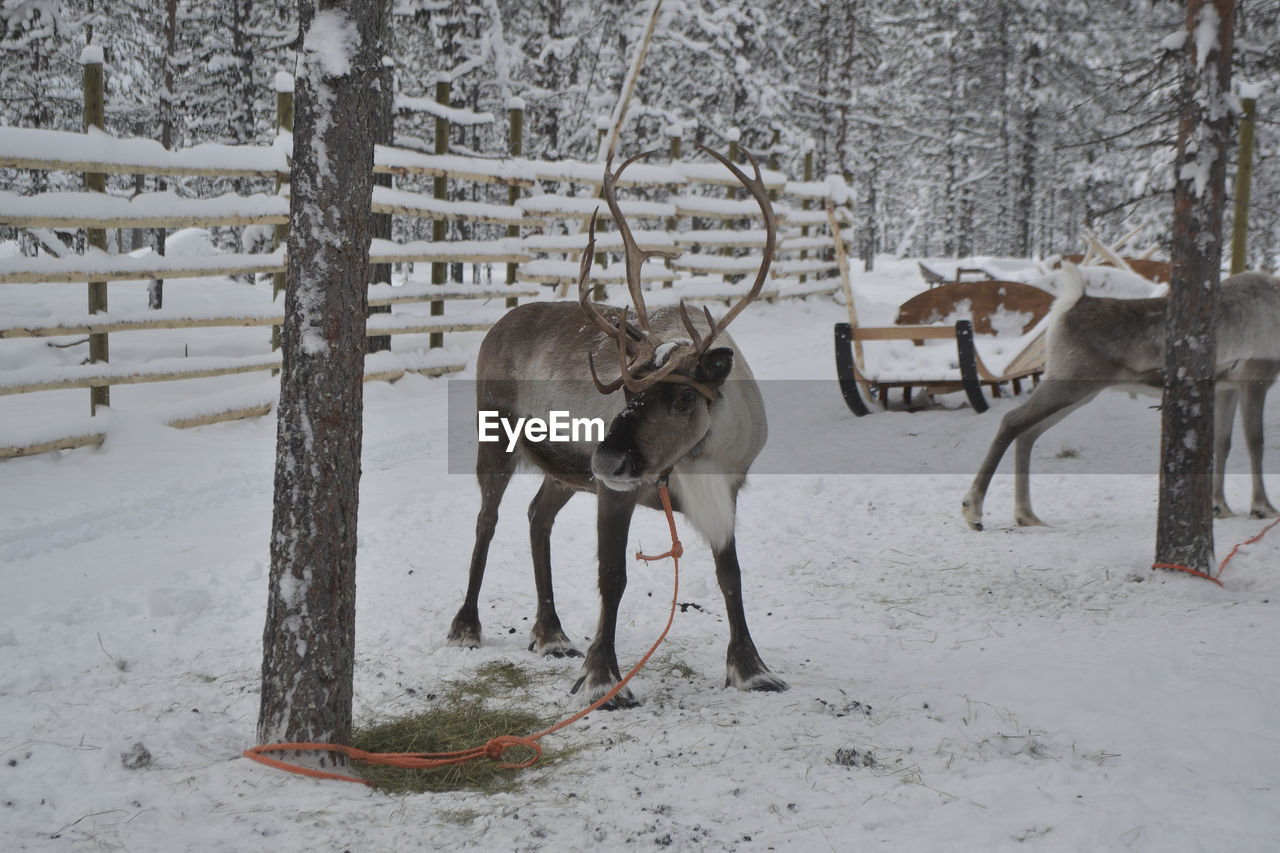 Reindeer standing on snowy land during winter