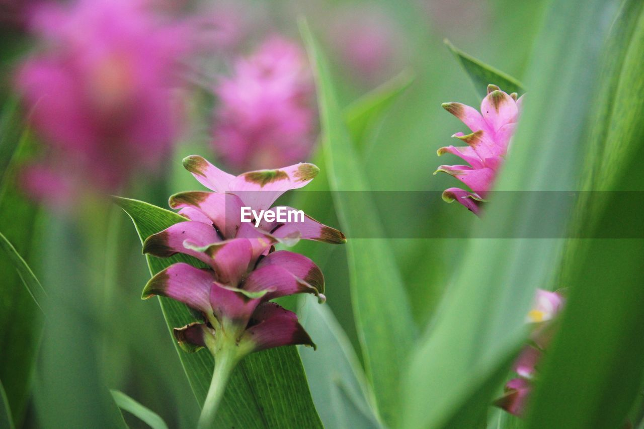 flower, flowering plant, plant, fragility, beauty in nature, vulnerability, freshness, growth, petal, close-up, pink color, nature, no people, flower head, selective focus, inflorescence, day, botany, green color, outdoors, purple