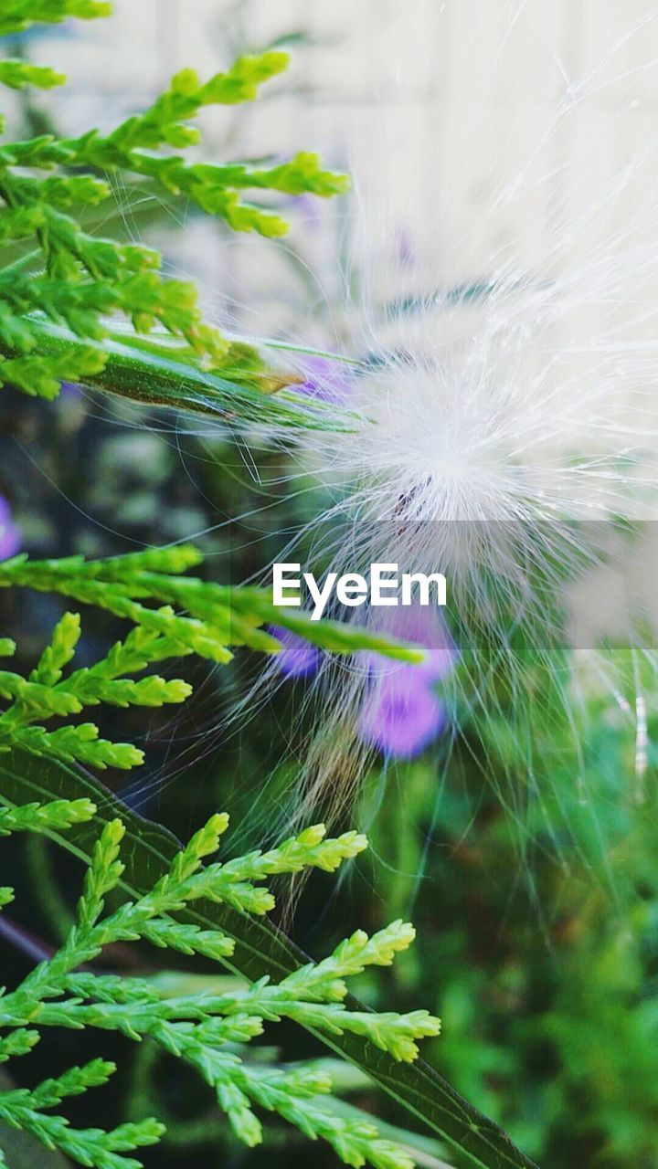 growth, fragility, nature, flower, plant, beauty in nature, focus on foreground, close-up, green color, outdoors, freshness, no people, day, leaf, flower head, peacock, peacock feather