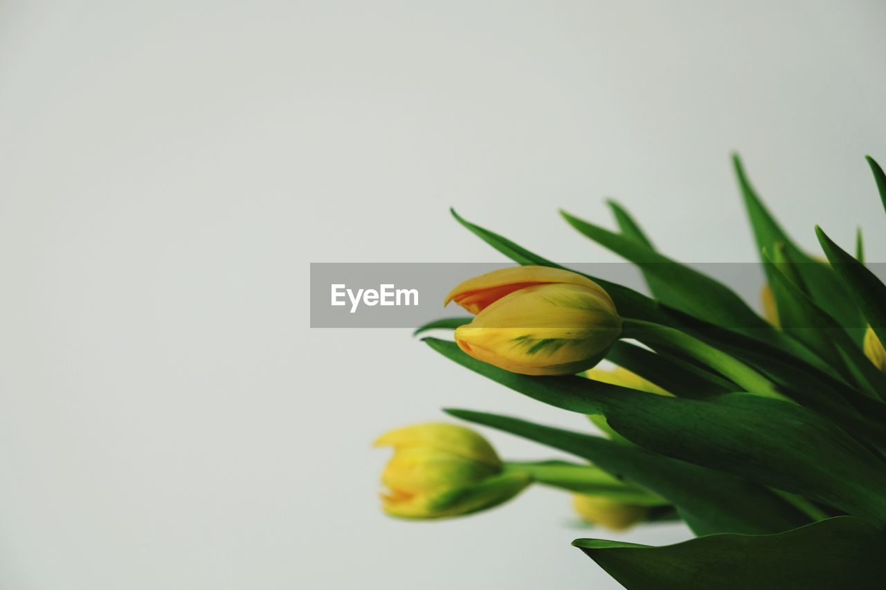 Close-Up Of Tulips Against Plain Background