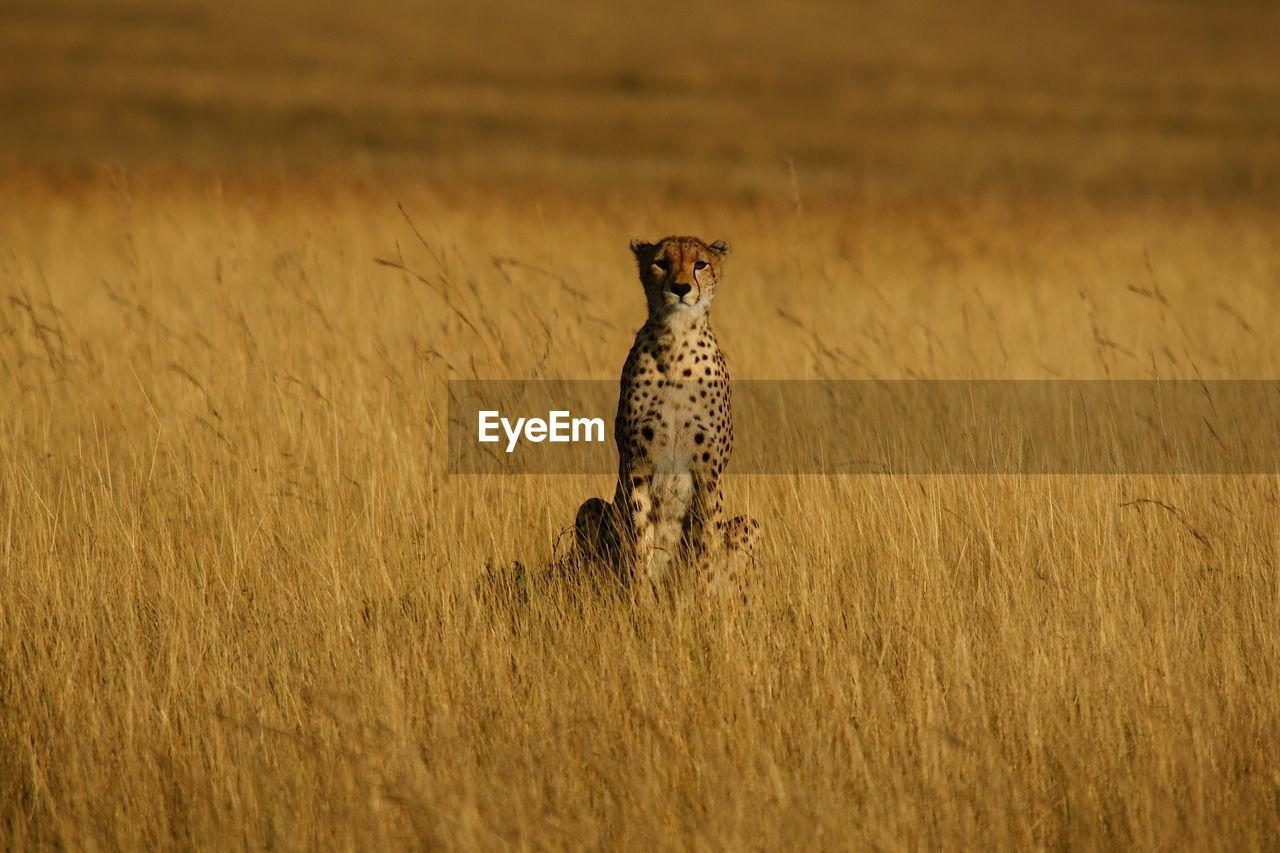Portrait Of Cheetah Sitting On Field