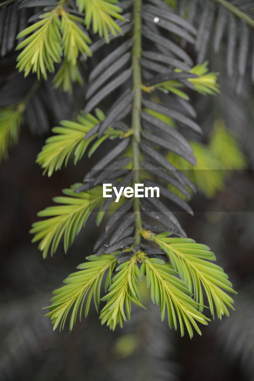 green color, focus on foreground, growth, leaf, nature, plant, close-up, day, no people, outdoors, beauty in nature, fragility, freshness, fern, tree
