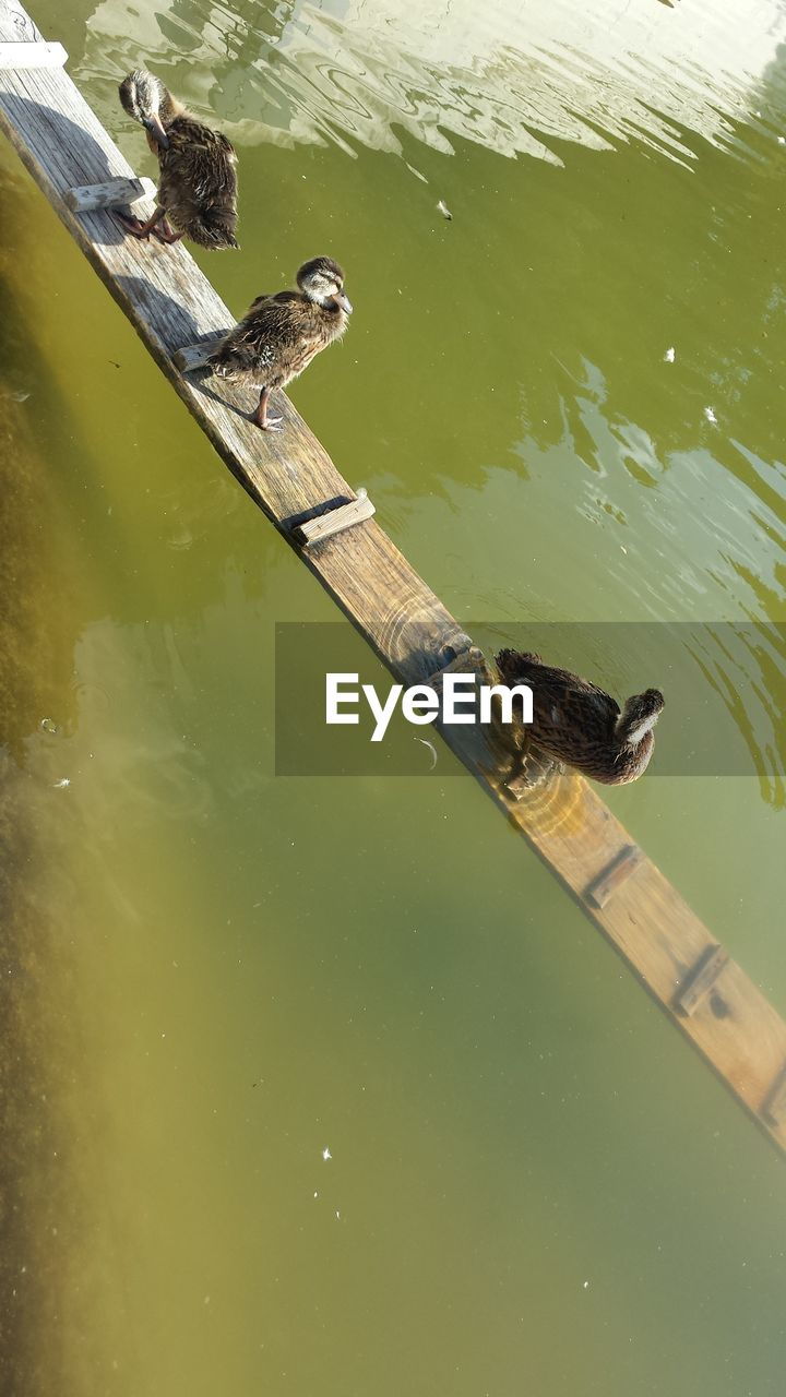 High angle view of ducks on wood in lake