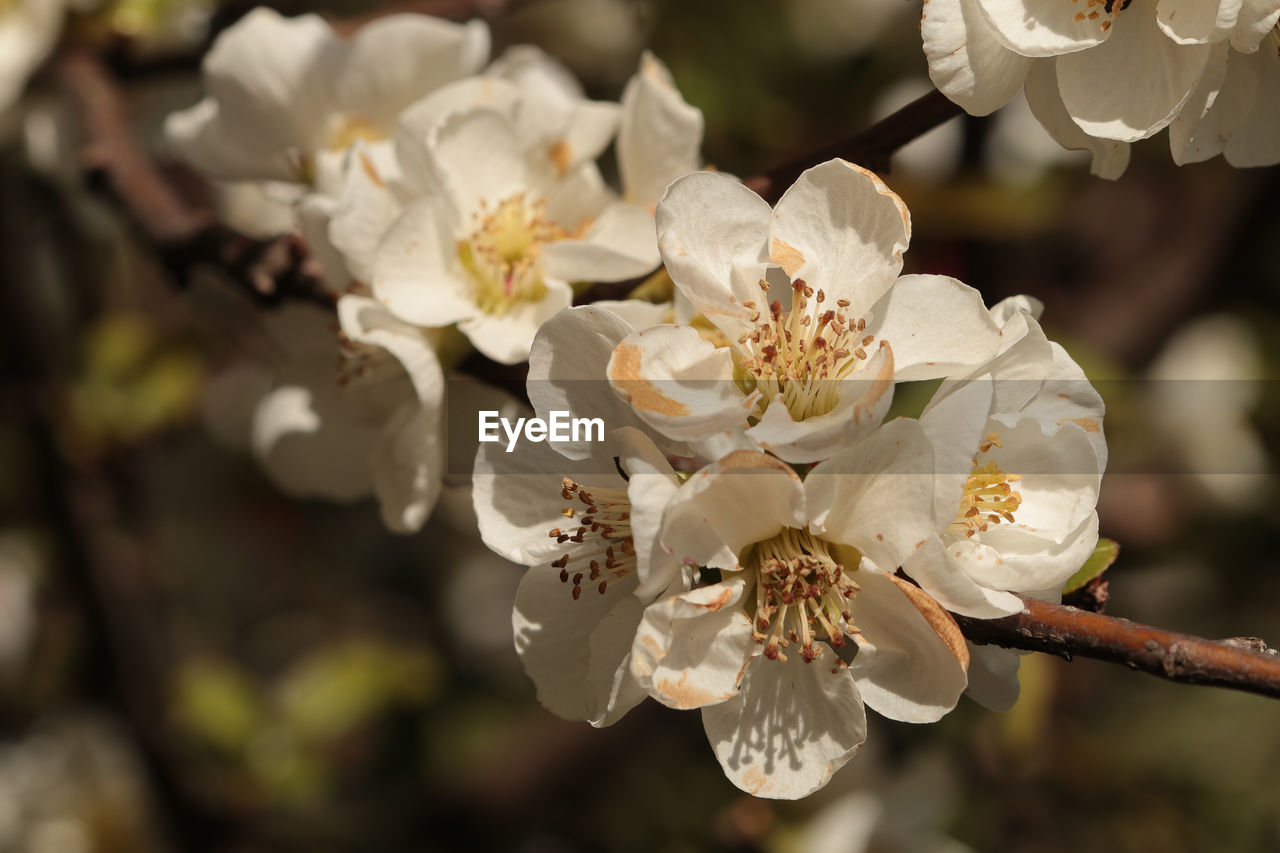 flower, blossom, white color, nature, growth, beauty in nature, petal, fragility, springtime, freshness, no people, tree, flower head, outdoors, day, close-up
