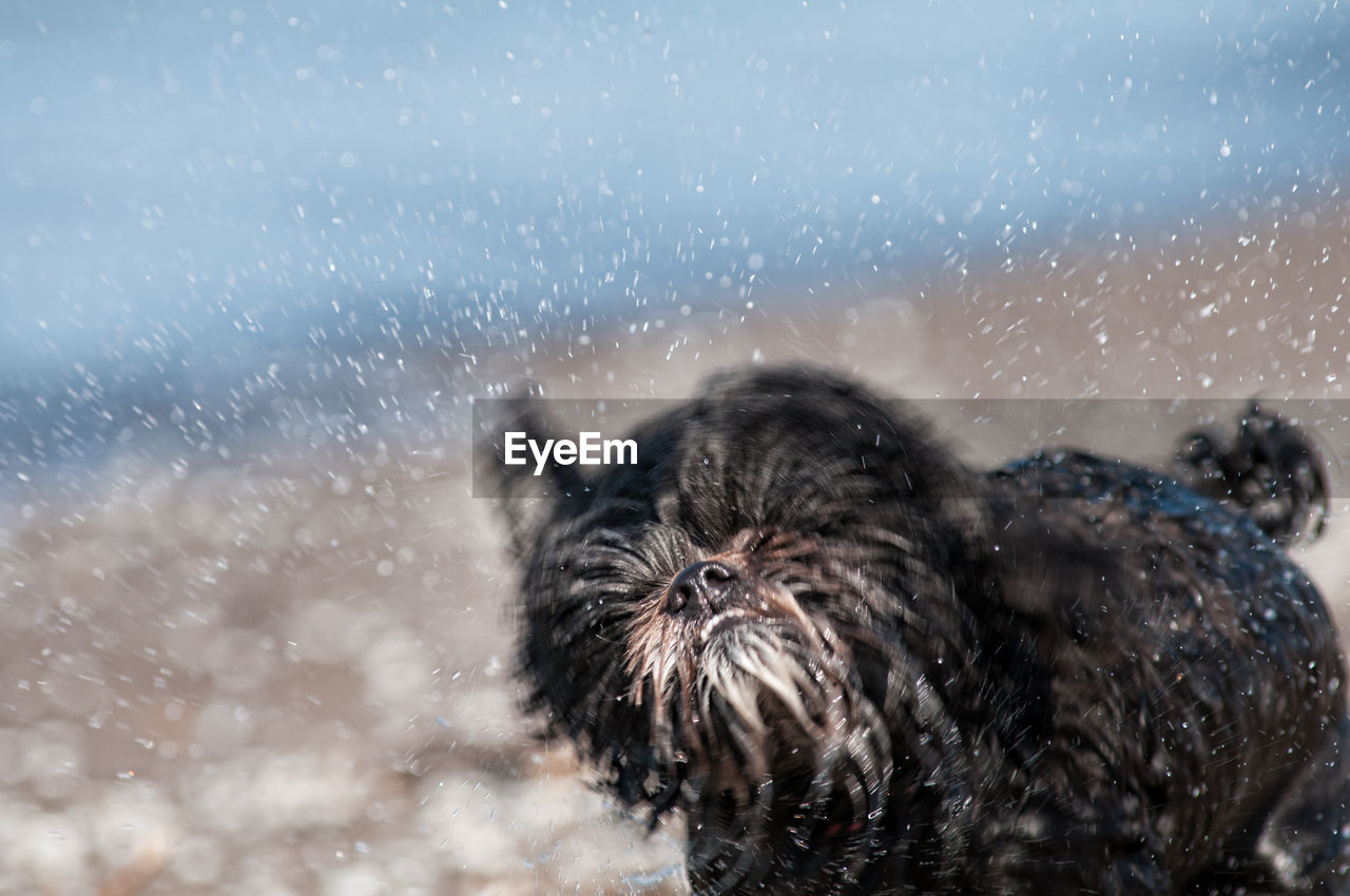 Close-Up Of Dog Shaking Off Water At Beach
