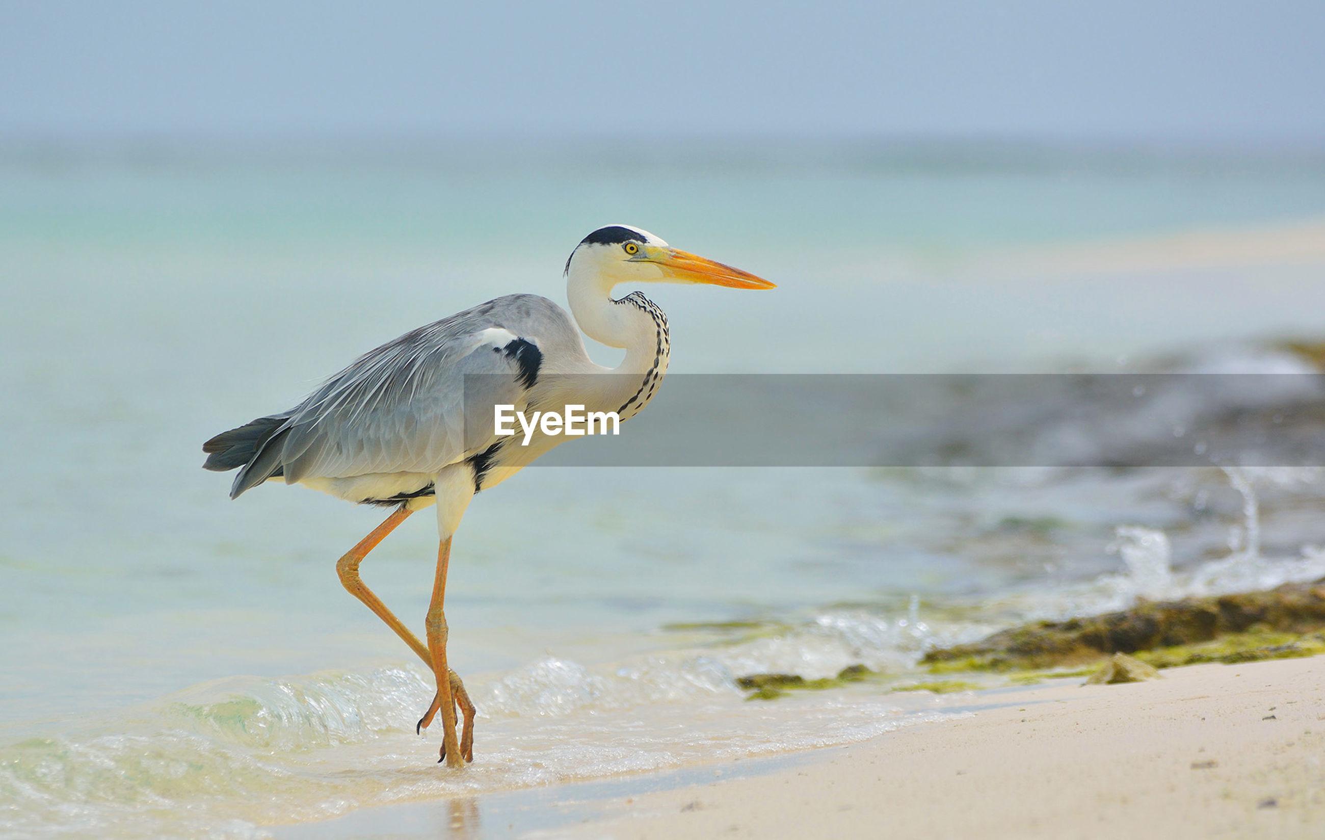 Gray Heron On Shore At Beach