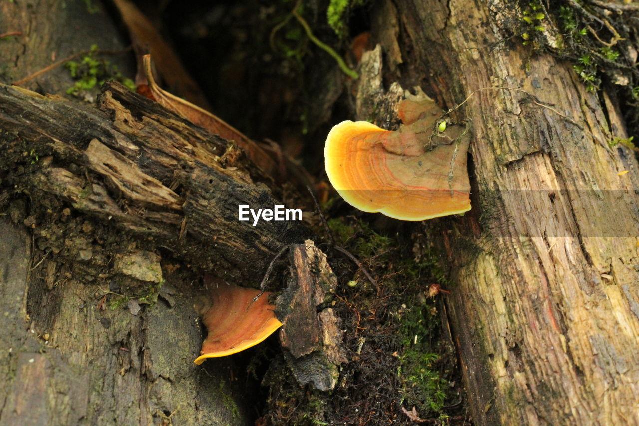 tree, trunk, tree trunk, plant, mushroom, nature, wood - material, no people, day, close-up, fungus, animal, vegetable, animal wildlife, one animal, outdoors, food, animal themes, forest, toadstool, bark