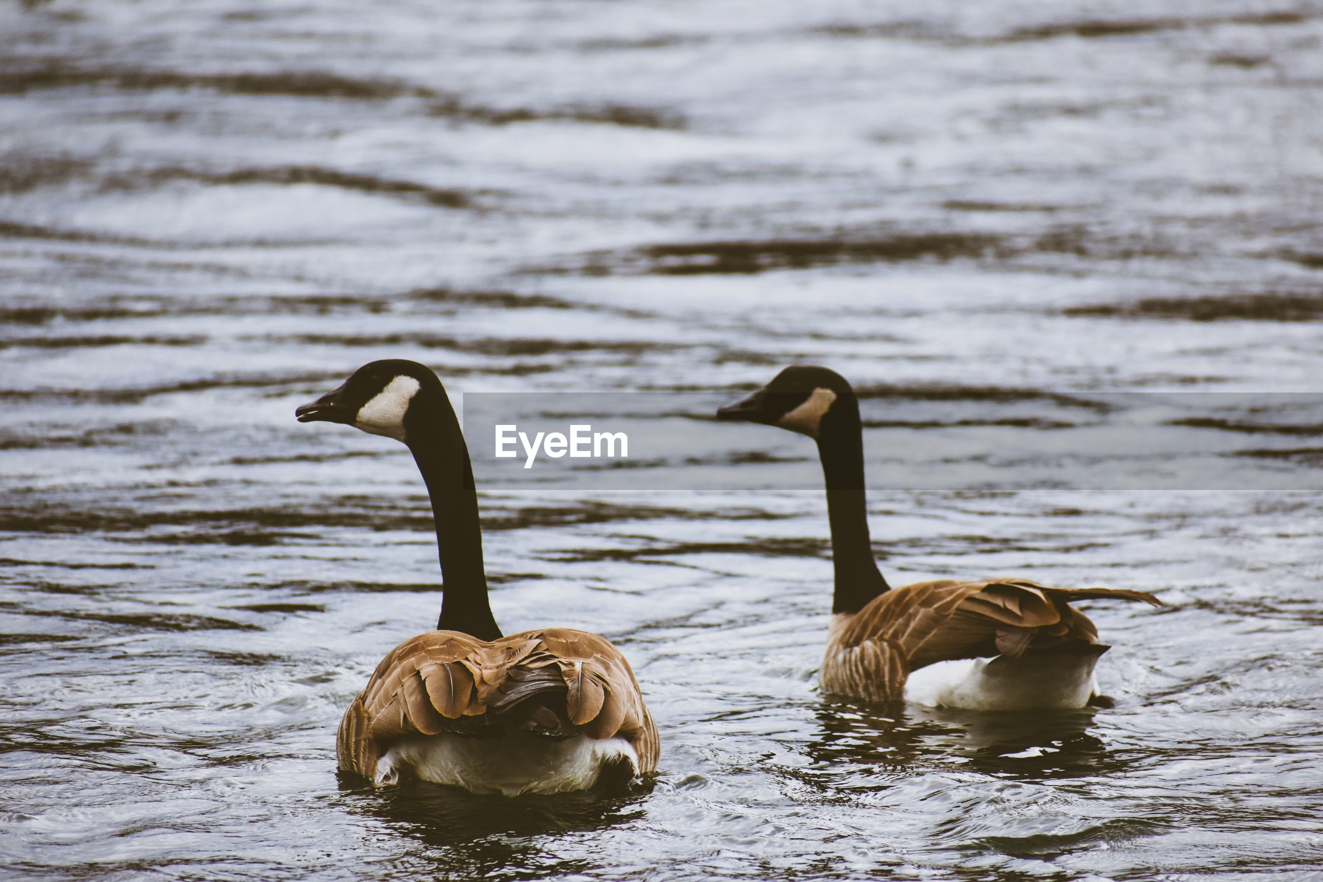 Geese swimming in river