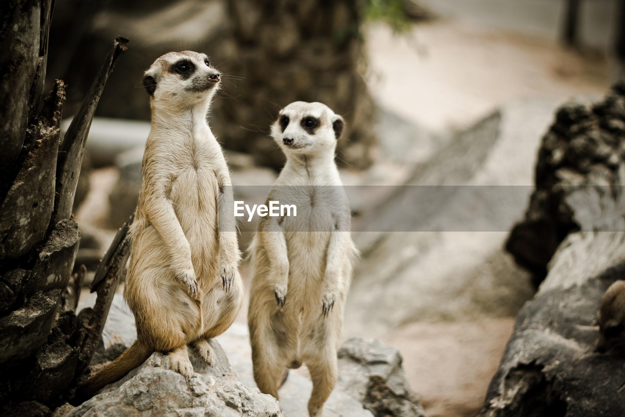 Meerkats on rock
