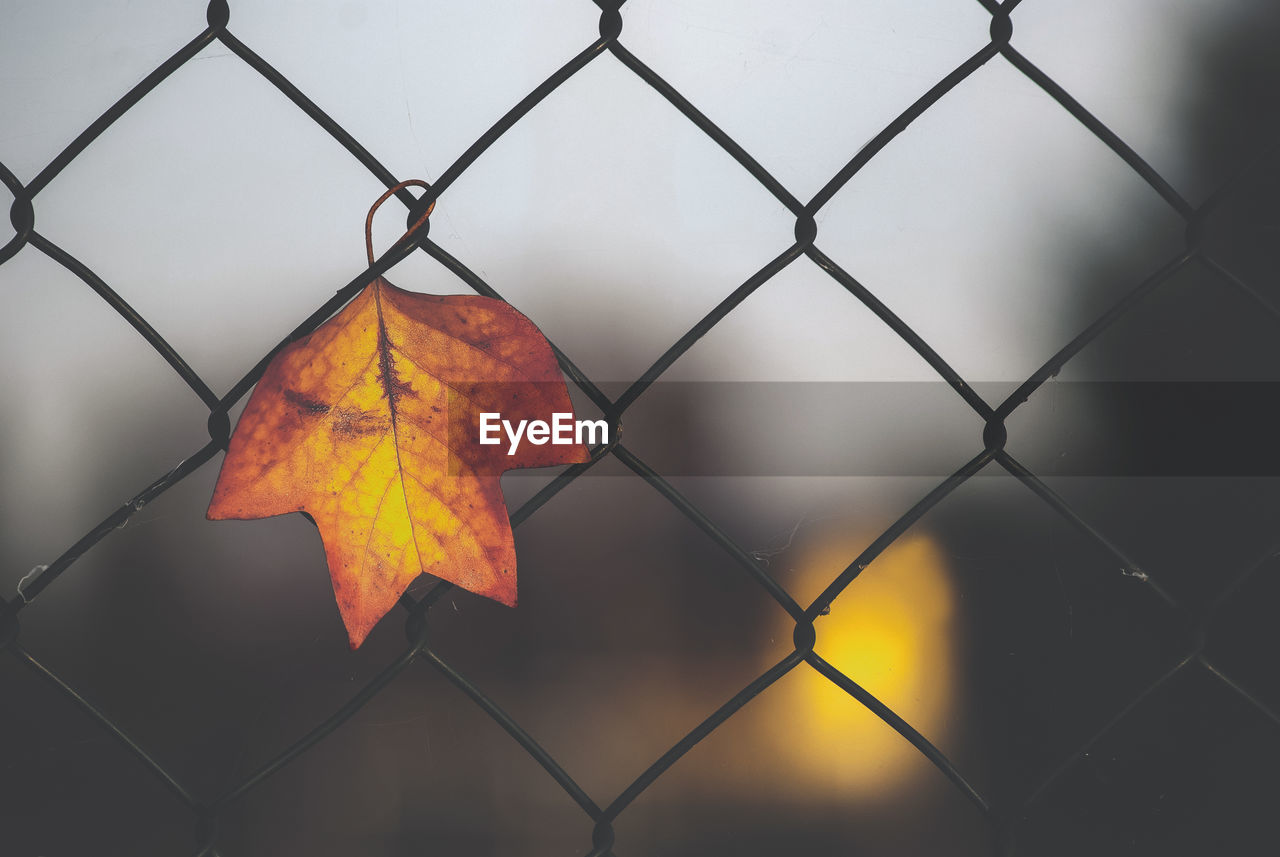 plant part, autumn, leaf, protection, nature, fence, orange color, security, no people, metal, chainlink fence, close-up, change, barrier, safety, focus on foreground, day, outdoors, pattern, boundary, leaves, maple leaf
