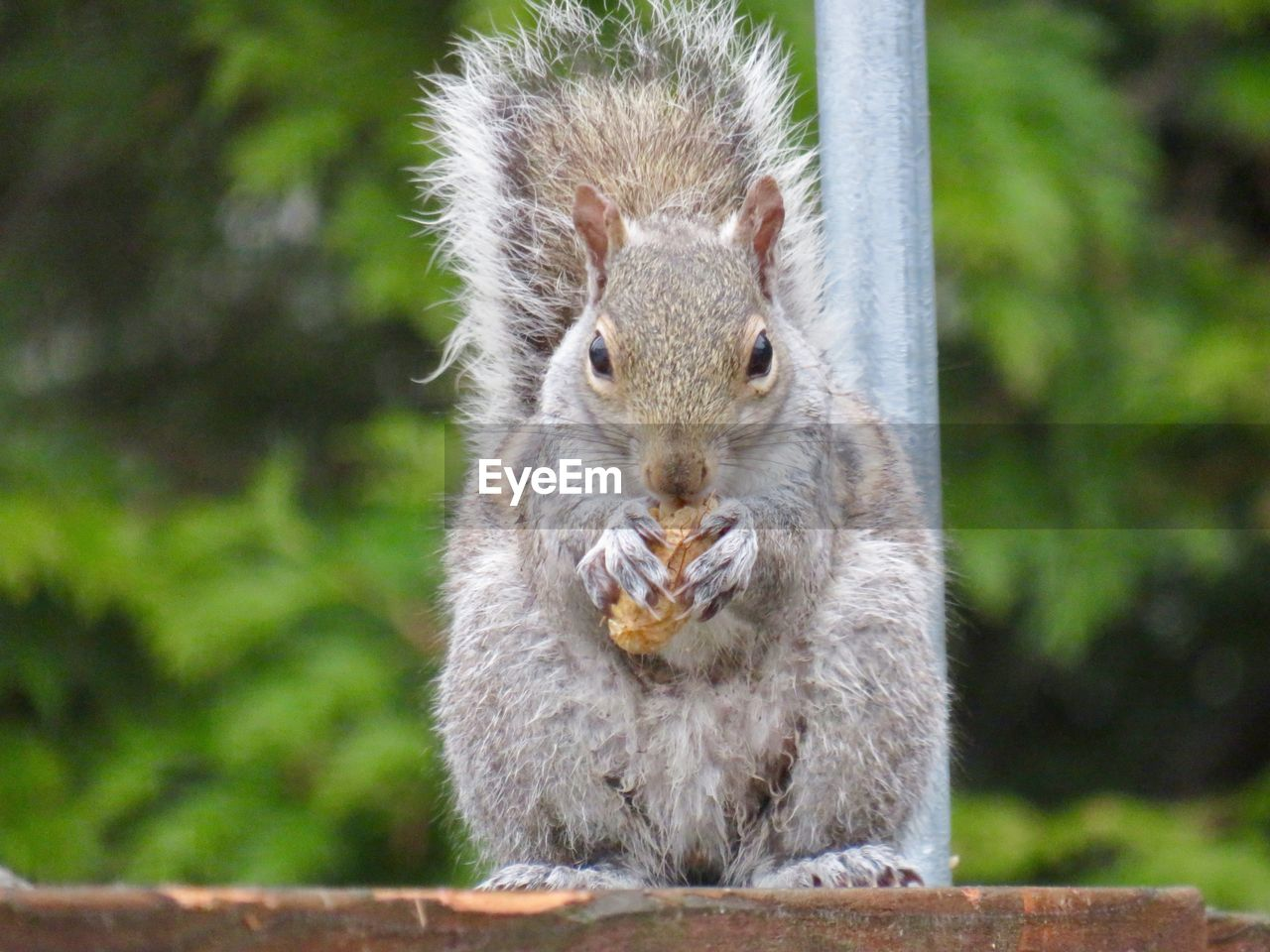 animal wildlife, animals in the wild, one animal, mammal, rodent, focus on foreground, squirrel, day, no people, eating, food, close-up, vertebrate, food and drink, outdoors, nature, portrait, whisker