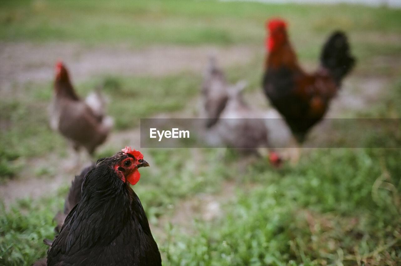 Close-up of hens on grassland