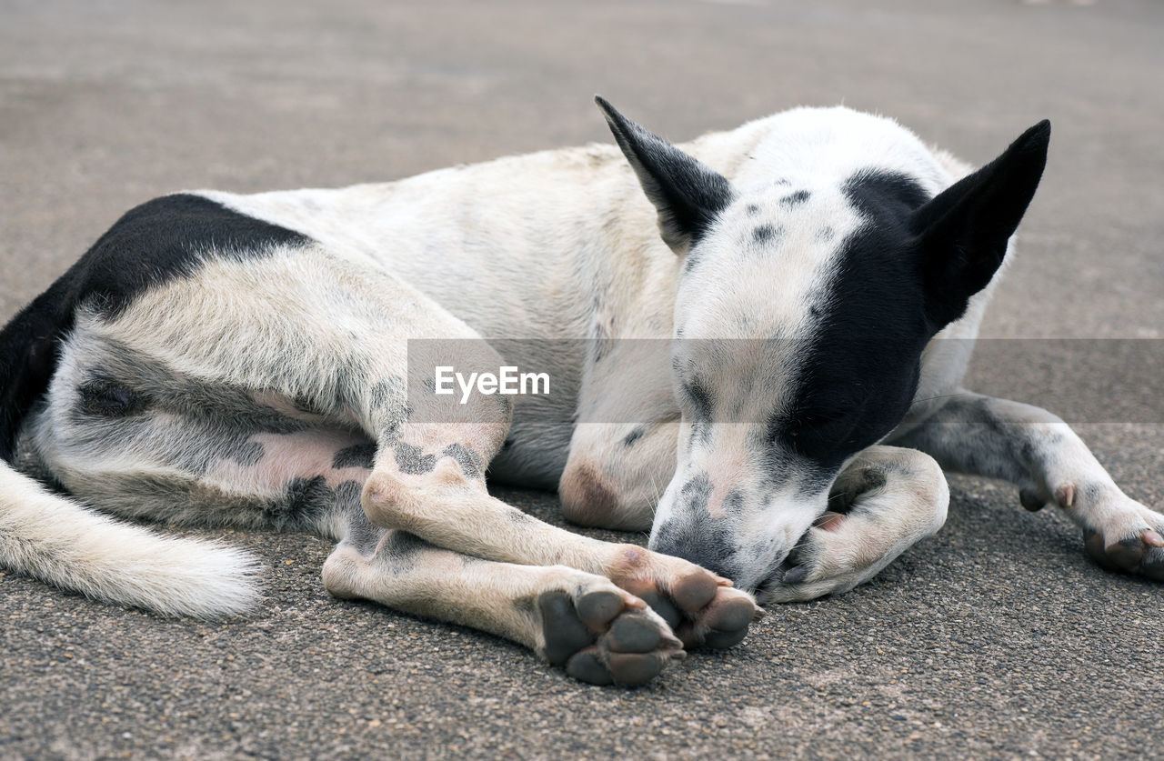mammal, domestic animals, relaxation, pets, domestic, one animal, lying down, dog, canine, sleeping, vertebrate, resting, no people, eyes closed, day, close-up, focus on foreground