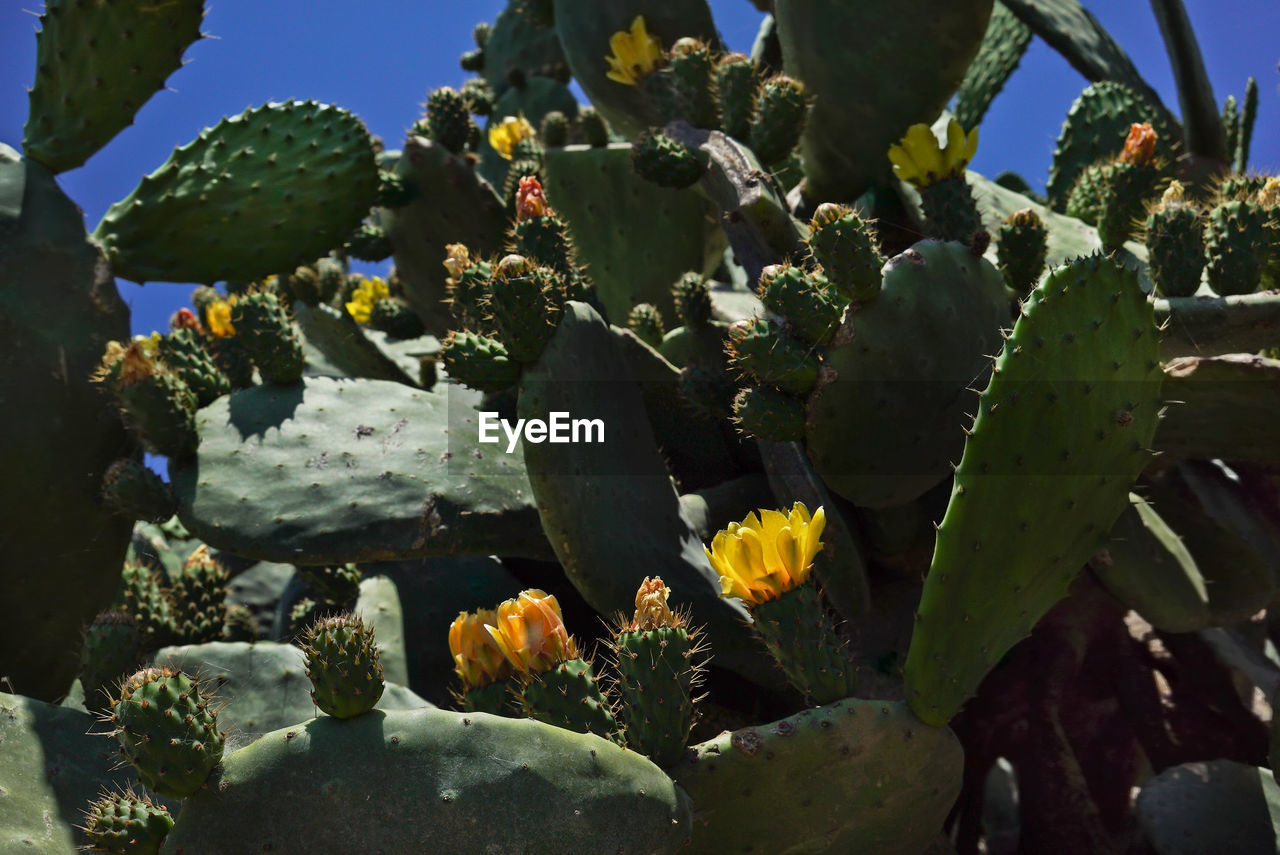 CLOSE-UP OF SUCCULENT PLANTS GROWING ON CACTUS