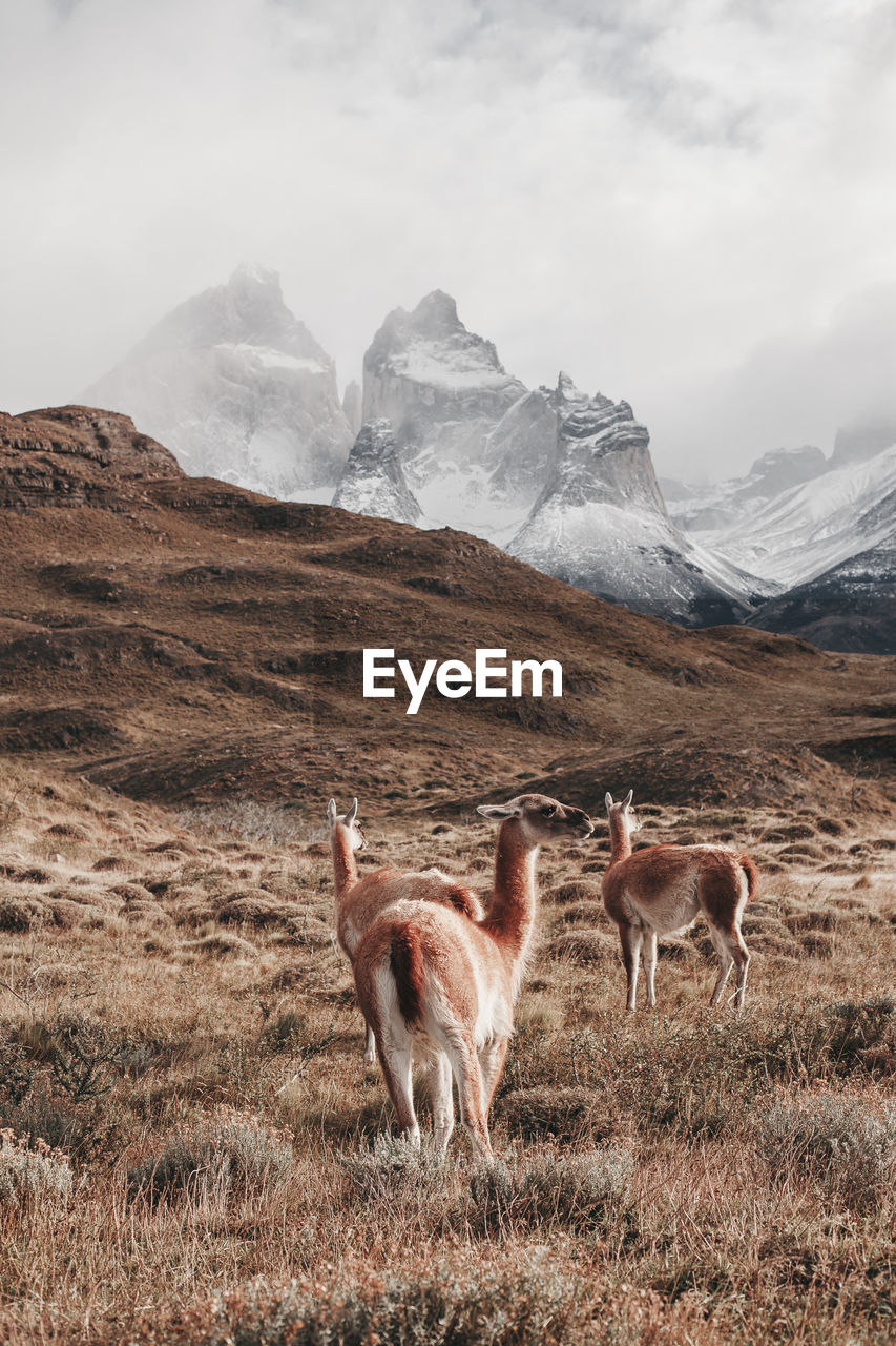 Guanacos standing on field against mountains