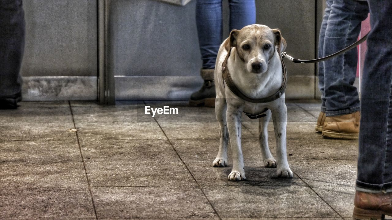 dog, pets, one animal, animal themes, domestic animals, mammal, low section, sitting, day, sidewalk, standing, dog lead, full length, one person, indoors, real people, people