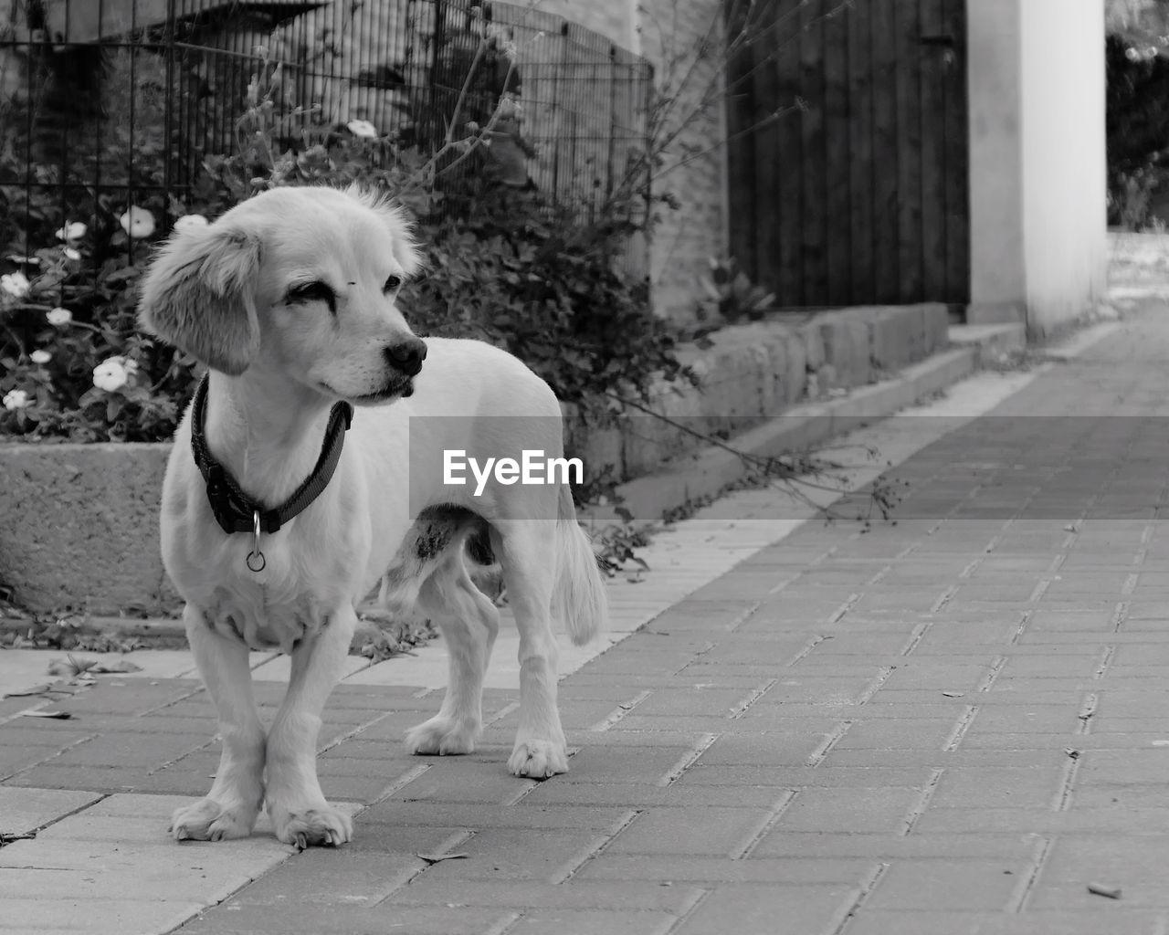 Dog Standing On Sidewalk Against House