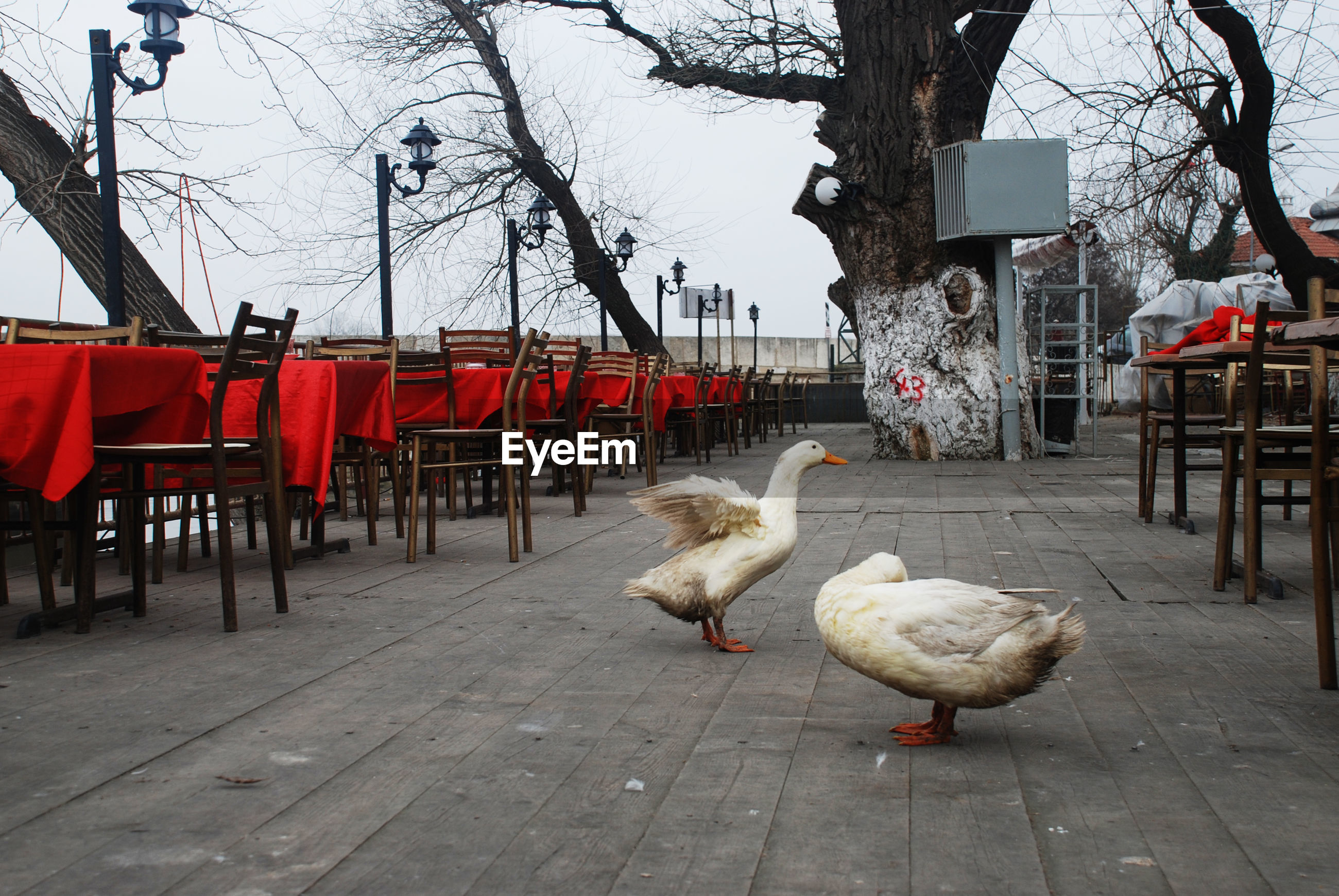Geese by empty chairs at cafe