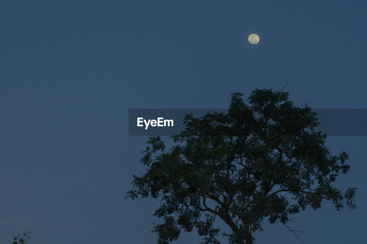 moon, tree, low angle view, full moon, nature, growth, clear sky, half moon, beauty in nature, night, sky, tranquility, no people, blue, outdoors, astronomy, scenics, branch, crescent