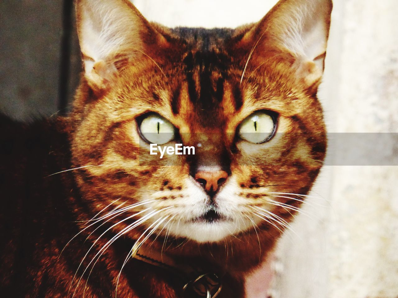 one animal, domestic cat, animal themes, feline, close-up, whisker, pets, mammal, domestic animals, indoors, looking at camera, portrait, no people, day