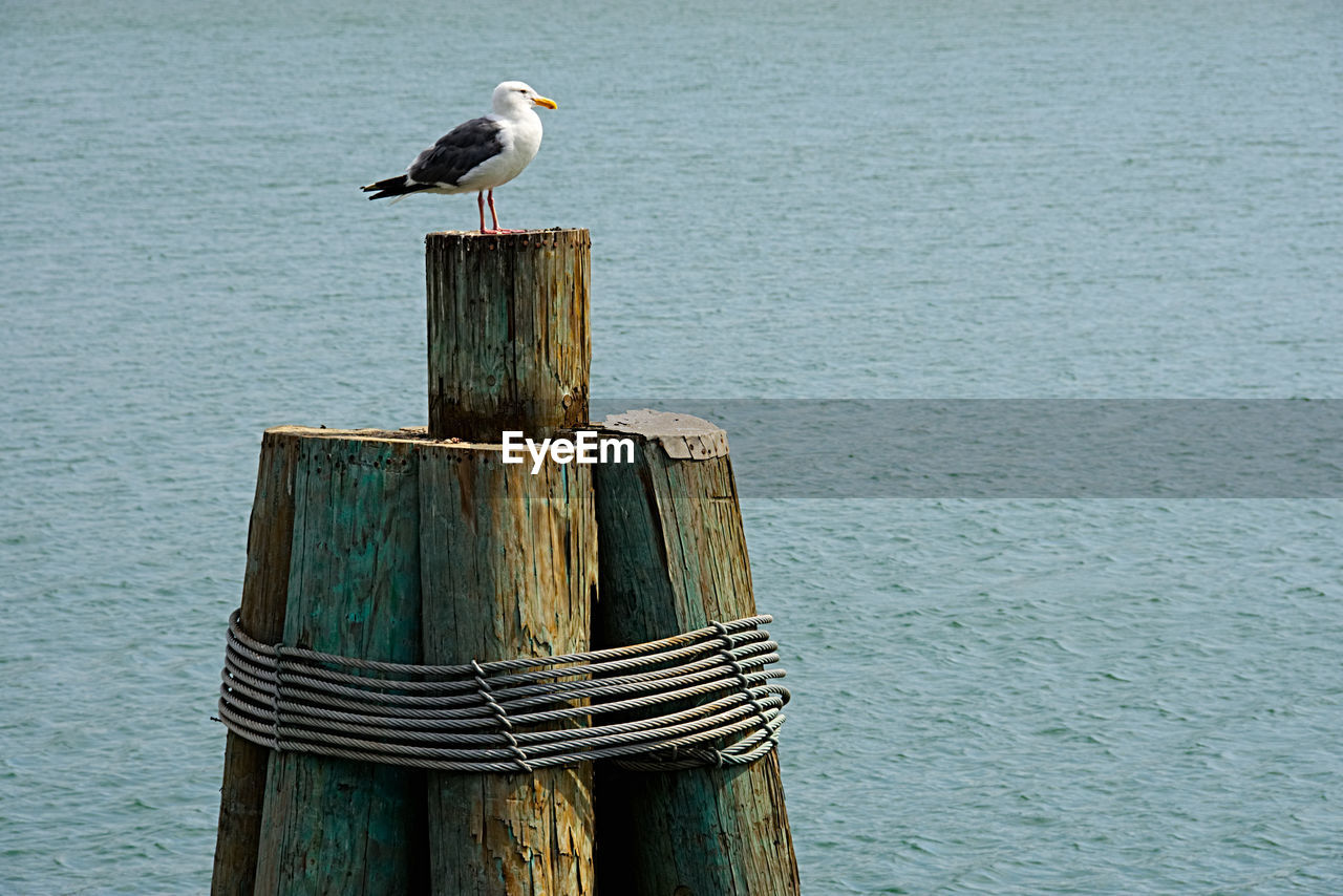 bird, perching, one animal, animals in the wild, animal themes, animal wildlife, wooden post, water, sea, nature, no people, day, wood - material, seagull, outdoors, beauty in nature