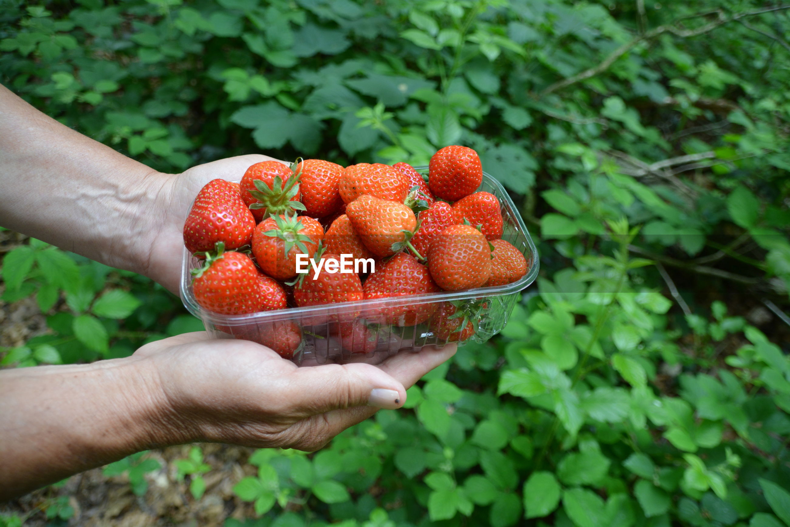 Cropped hands holding strawberries in container