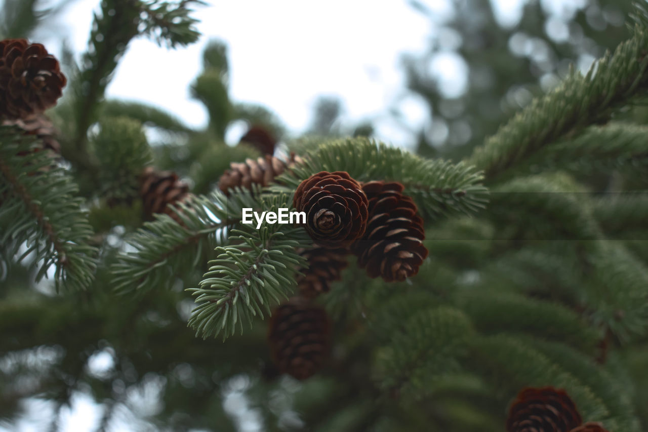 tree, plant, green color, christmas, close-up, growth, focus on foreground, no people, christmas tree, nature, leaf, day, pine cone, pine tree, celebration, plant part, christmas decoration, beauty in nature, coniferous tree, branch, needle - plant part, outdoors, christmas ornament