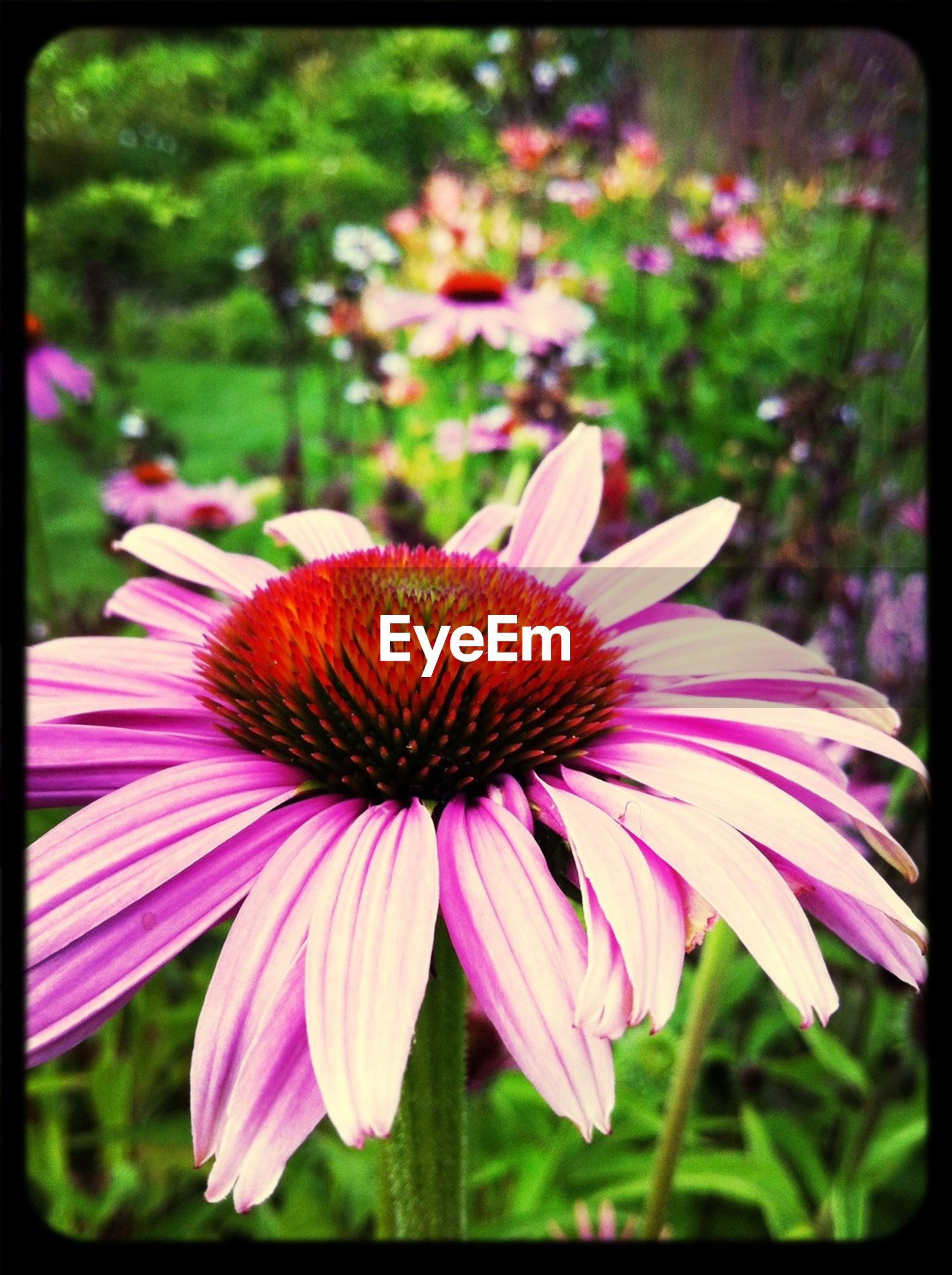 flower, petal, freshness, flower head, fragility, transfer print, pink color, growth, beauty in nature, close-up, focus on foreground, blooming, pollen, auto post production filter, nature, stamen, plant, in bloom, pink, single flower