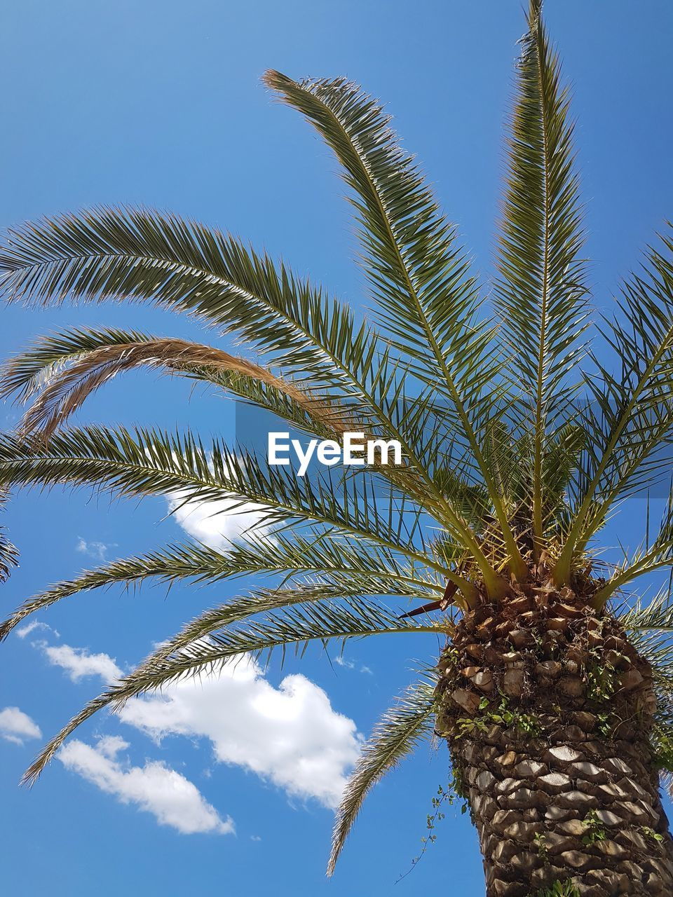 plant, growth, palm tree, sky, low angle view, tree, tropical climate, nature, leaf, palm leaf, beauty in nature, no people, tree trunk, day, trunk, cloud - sky, date palm tree, tranquility, outdoors, green color, tropical tree, coconut palm tree
