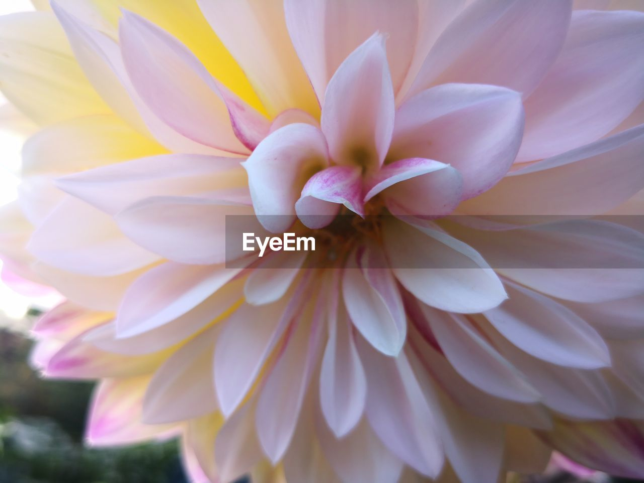flowering plant, flower, vulnerability, beauty in nature, petal, fragility, plant, flower head, close-up, freshness, inflorescence, growth, dahlia, no people, nature, day, focus on foreground, full frame, white color, purple