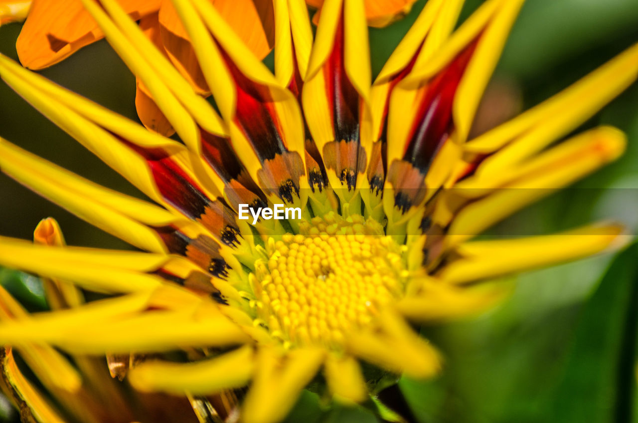 flower, vulnerability, flower head, flowering plant, fragility, inflorescence, petal, plant, beauty in nature, yellow, growth, close-up, pollen, freshness, gazania, day, nature, selective focus, no people