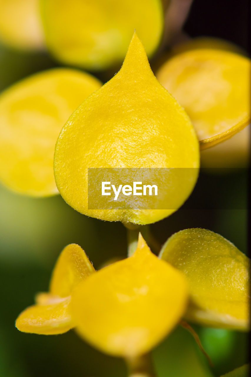 yellow, freshness, food and drink, food, close-up, no people, selective focus, wellbeing, still life, fruit, healthy eating, slice, citrus fruit, indoors, focus on foreground, group of objects, juicy, plant, full frame, nature