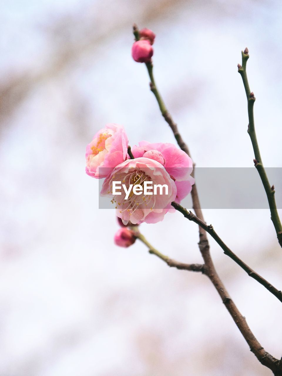 flower, flowering plant, plant, pink color, beauty in nature, fragility, freshness, vulnerability, close-up, petal, growth, blossom, inflorescence, flower head, focus on foreground, twig, no people, branch, nature, springtime, outdoors, cherry tree, cherry blossom, plum blossom, spring