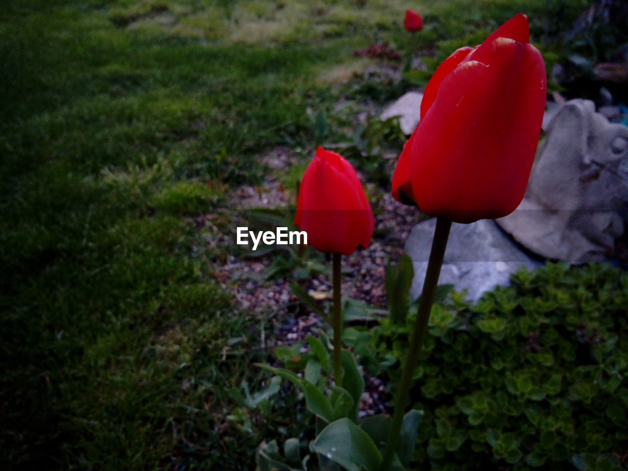 flower, nature, growth, red, beauty in nature, fragility, plant, freshness, petal, no people, outdoors, tulip, poppy, close-up, flower head, blooming, day