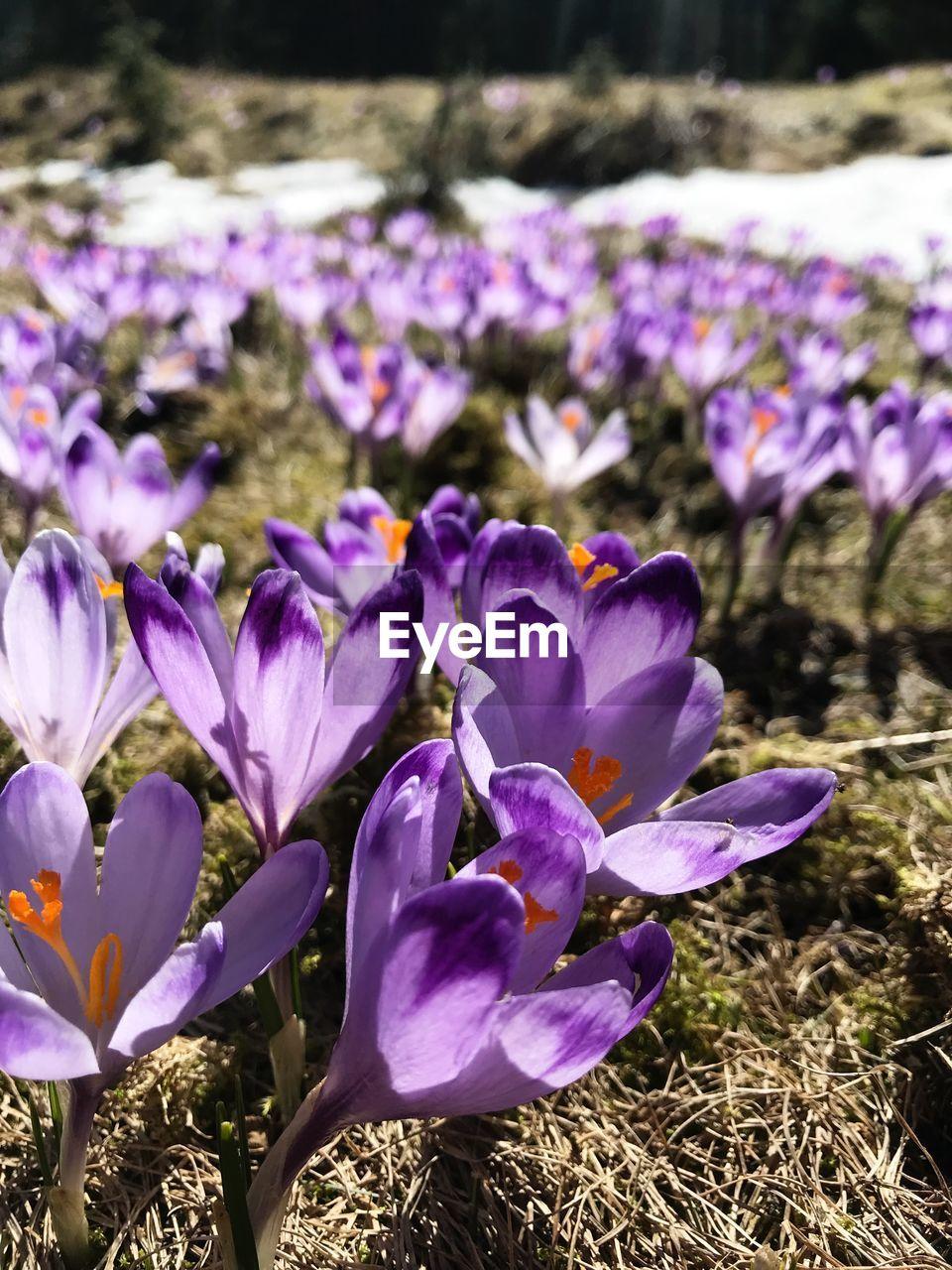 CLOSE-UP OF PURPLE CROCUS FLOWERS IN FIELD