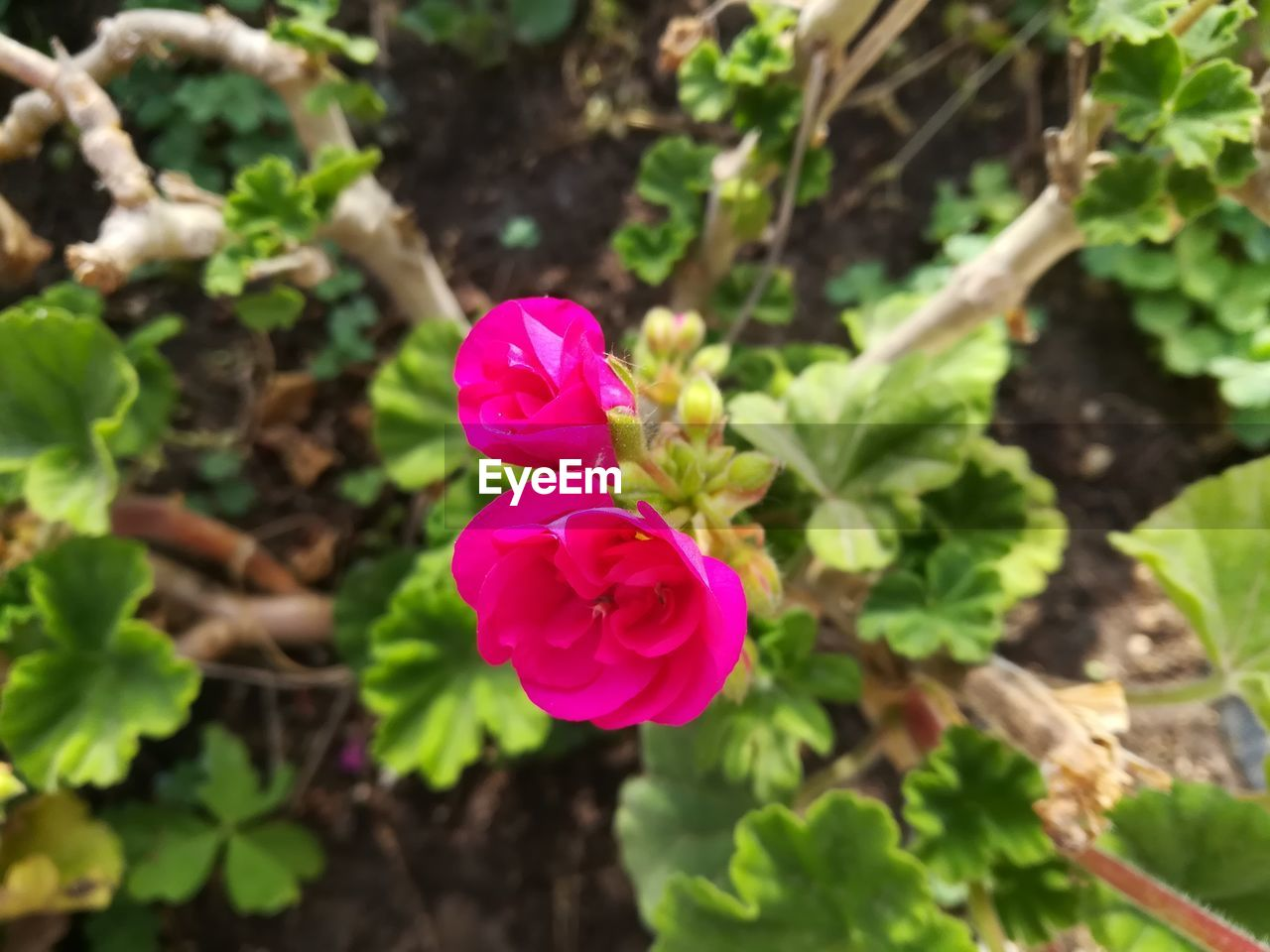 plant, beauty in nature, flowering plant, flower, vulnerability, fragility, freshness, growth, petal, pink color, flower head, close-up, inflorescence, nature, leaf, day, plant part, no people, focus on foreground, high angle view, outdoors
