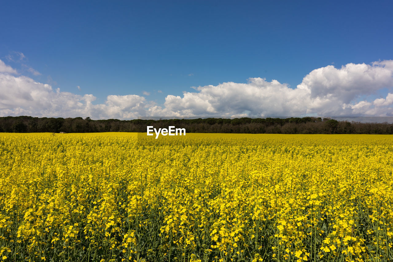 yellow, beauty in nature, sky, flower, landscape, scenics - nature, field, land, agriculture, growth, oilseed rape, tranquil scene, rural scene, cloud - sky, plant, environment, tranquility, flowering plant, nature, day, no people, outdoors, springtime, flowerbed
