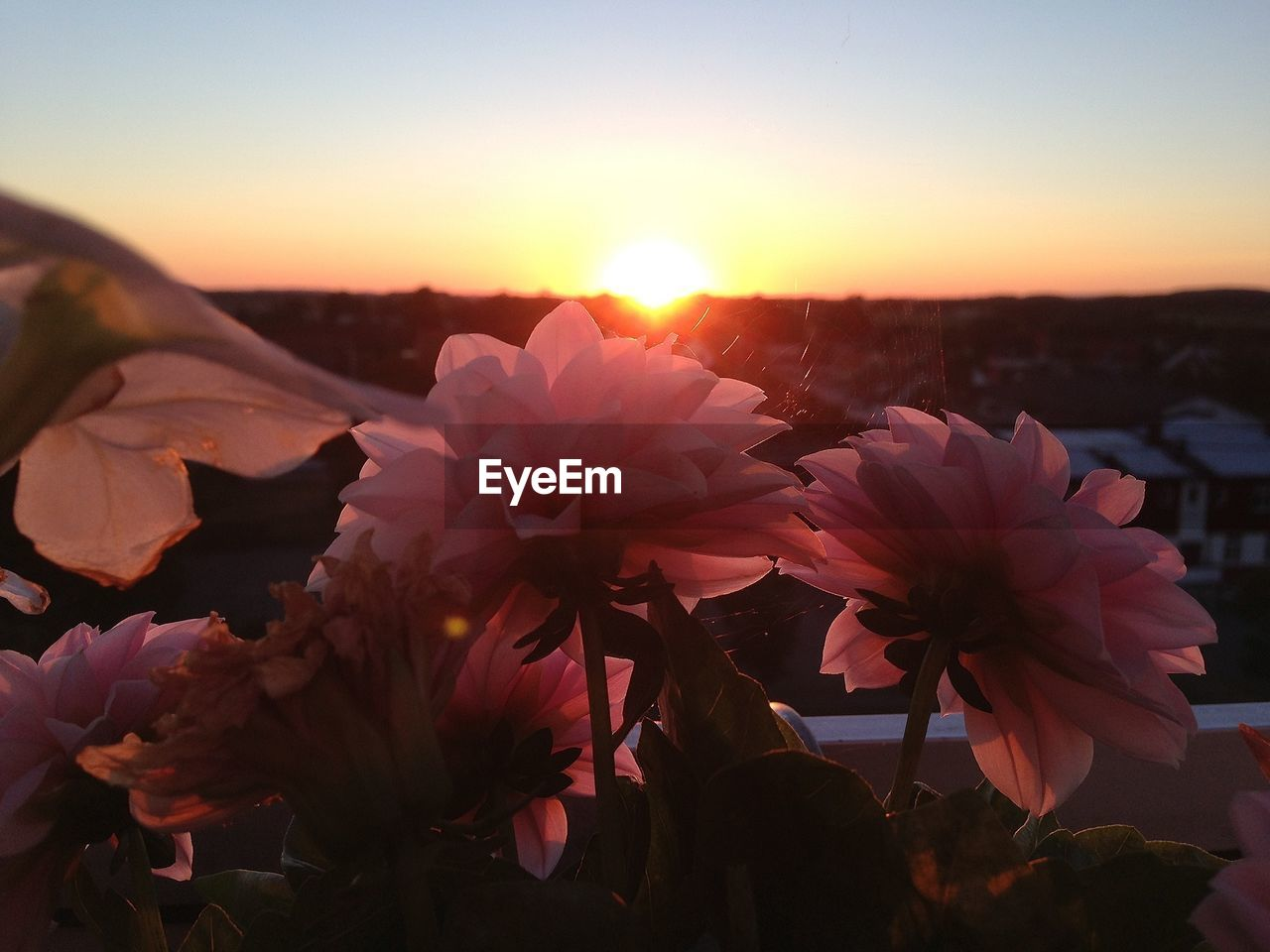flower, nature, sunset, beauty in nature, sun, bright, growth, sunlight, tranquility, petal, no people, plant, outdoors, fragility, freshness, sky, close-up, blooming, flower head, day