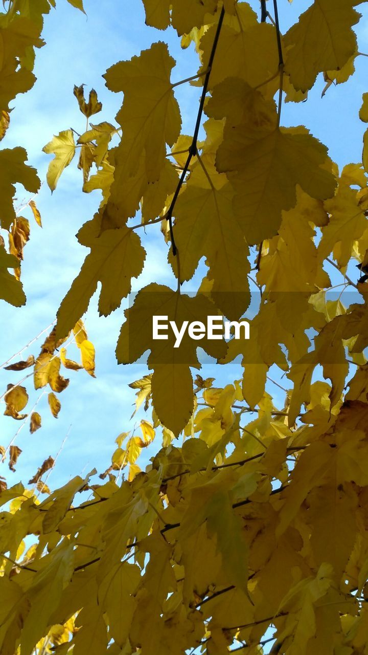 yellow, leaf, nature, beauty in nature, autumn, day, outdoors, low angle view, no people, growth, fragility, scenics, branch, flower, close-up, tree, sky, freshness