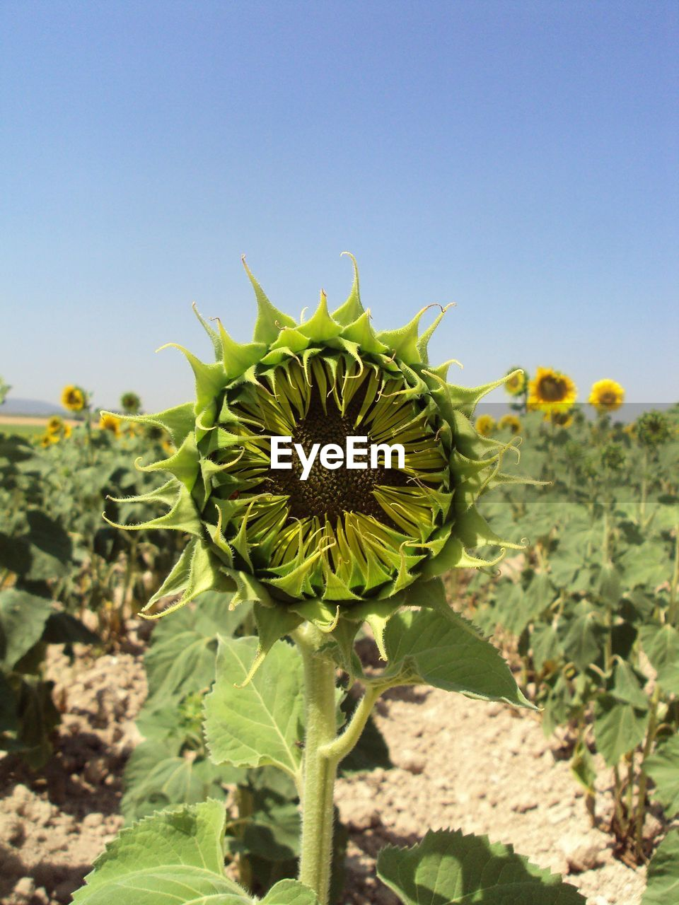 plant, growth, beauty in nature, nature, green color, flower, close-up, flower head, flowering plant, sky, yellow, freshness, sunflower, day, fragility, no people, land, field, vulnerability, inflorescence, outdoors