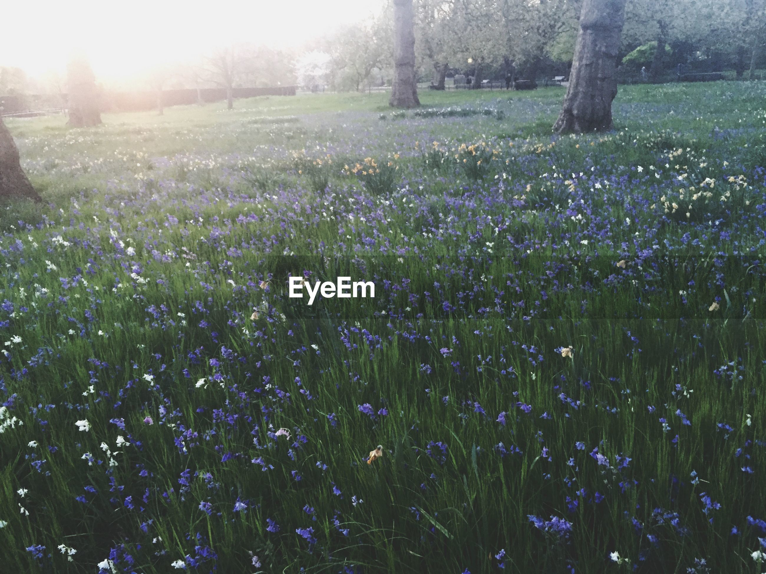 flower, growth, beauty in nature, field, freshness, grass, nature, sunlight, fragility, tranquility, plant, tranquil scene, tree, park - man made space, sunbeam, blooming, landscape, green color, scenics, petal