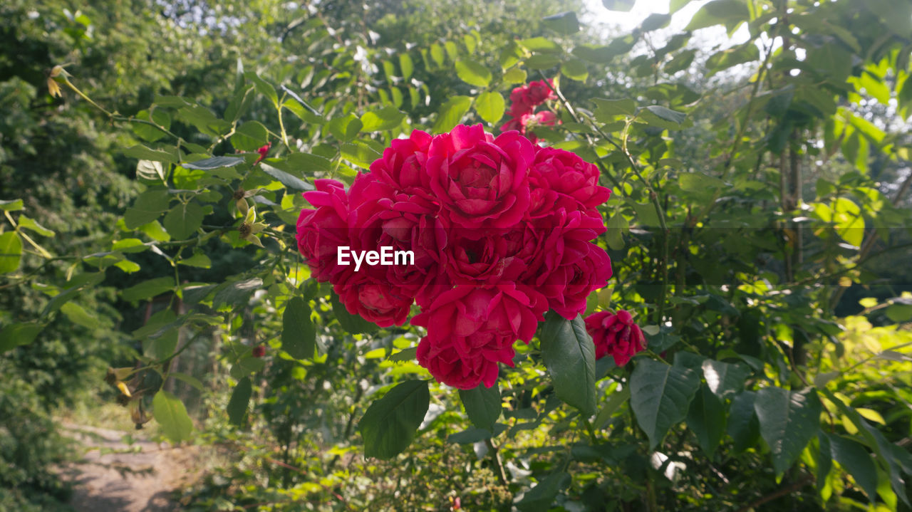 flower, rose - flower, petal, nature, growth, red, plant, beauty in nature, fragility, leaf, flower head, no people, outdoors, freshness, day, blooming, close-up