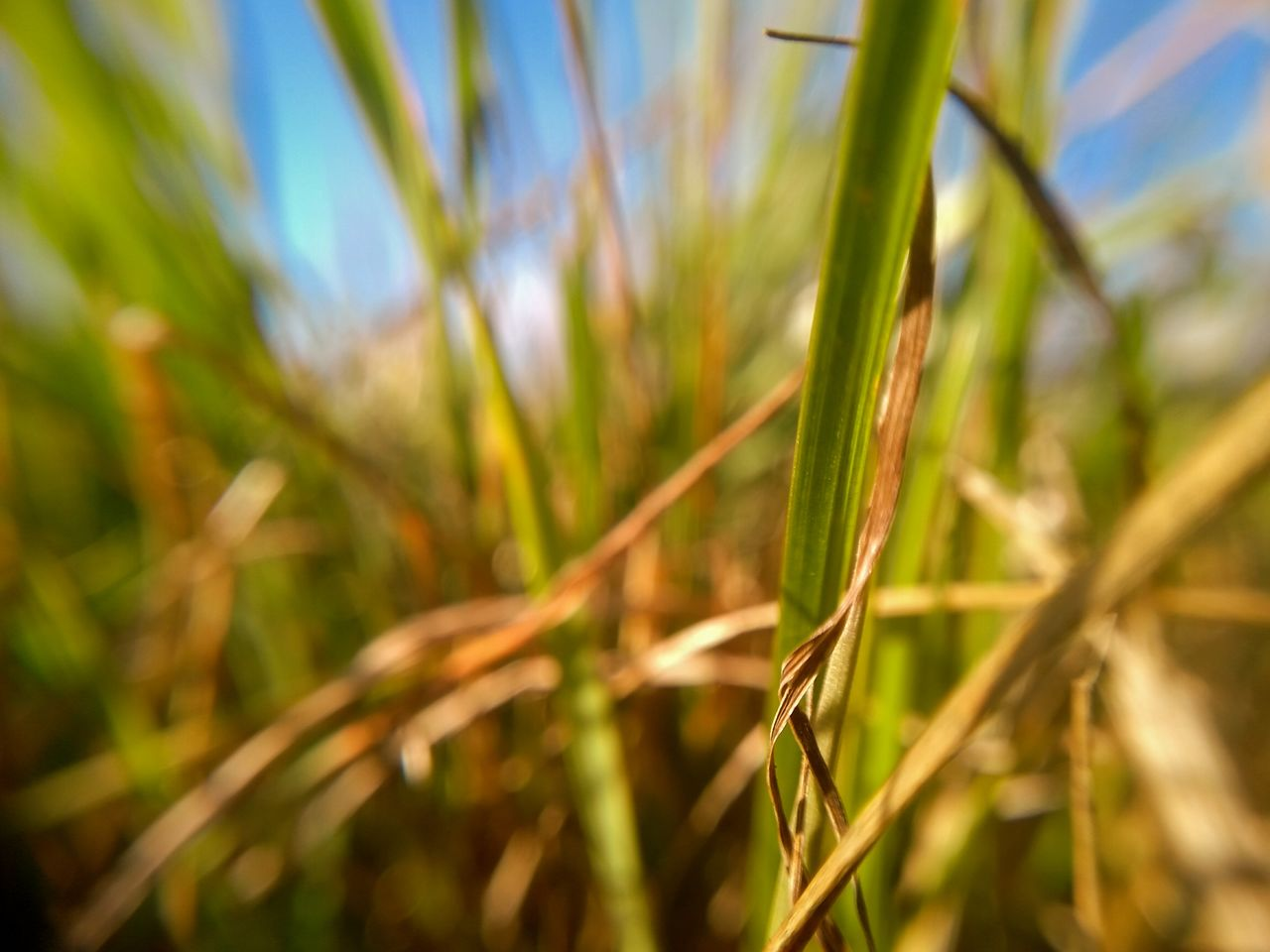 plant, growth, green color, nature, close-up, field, cereal plant, beauty in nature, agriculture, tranquility, selective focus, crop, day, grass, no people, land, focus on foreground, rural scene, sunlight, farm, outdoors, blade of grass, plantation