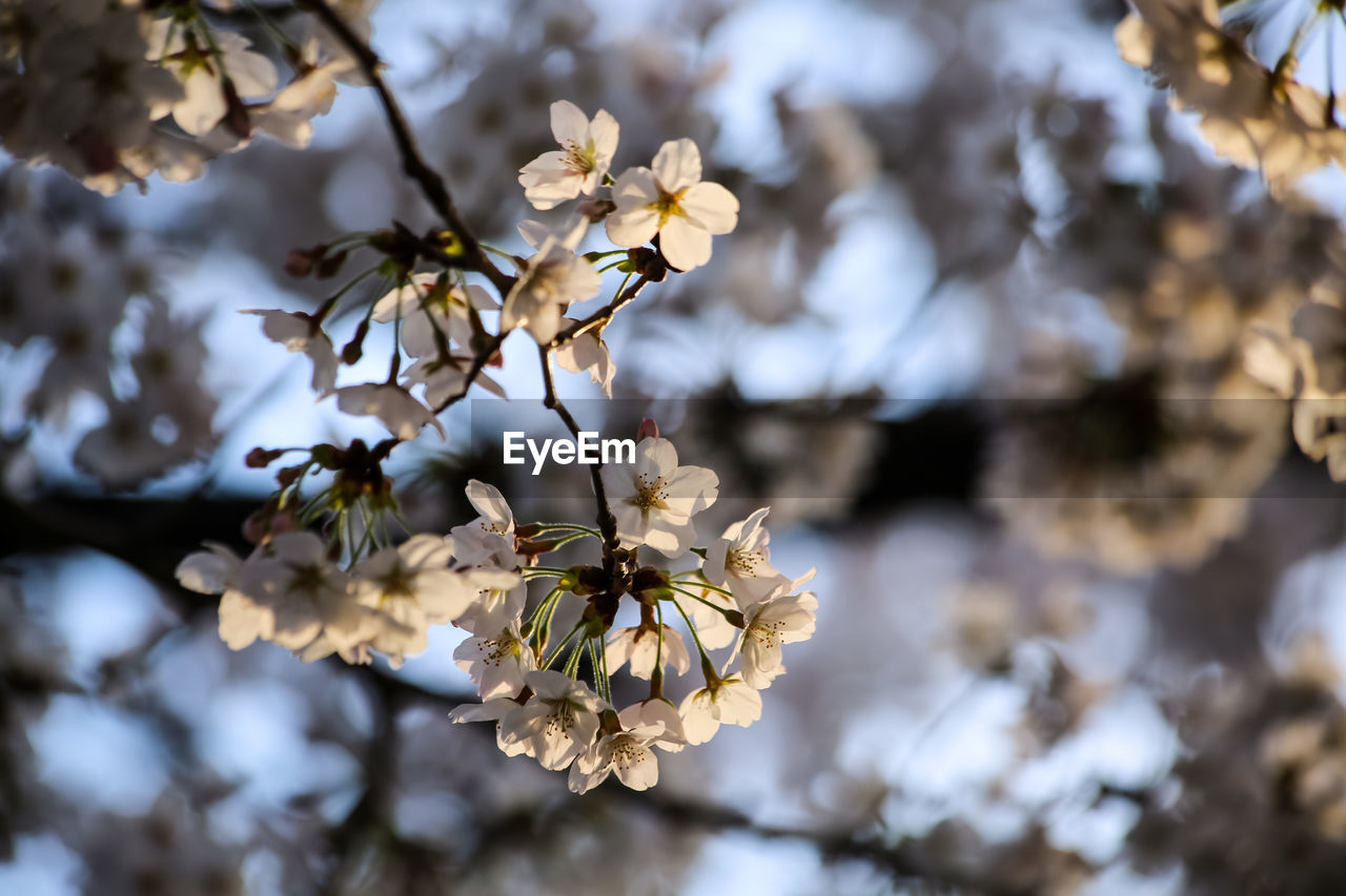 plant, flowering plant, flower, growth, beauty in nature, vulnerability, freshness, fragility, tree, close-up, focus on foreground, blossom, nature, no people, day, petal, springtime, white color, branch, flower head, outdoors, cherry blossom, pollen, cherry tree